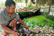 """""""Vua"""" ốc bươu đen ở Nghệ An mỗi năm thu 500 triệu đồng bán ốc giống, ốc thịt"""