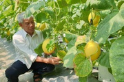 Thanh Hóa: U70 trồng dưa vàng công nghệ cao, ngay vụ đầu đã có gần 50 triệu