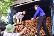 309 thương nhân Trung Quốc sang mua vải thiều ngay tại cửa khẩu bằng xe chuyên dụng
