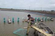 Thái Bình: Nuôi lợn rừng, nuôi cá vược đặc sản, nhiều hộ thu hàng trăm triệu/năm