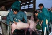Giá heo hơi hôm nay 12/6: Doanh nghiệp đăng ký nhập hàng nghìn con lợn từ Thái Lan, giá heo hơi ra sao?