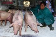 Giá heo hơi hôm nay 27/6: Giá heo tăng, lo ngại dịch tả lợn châu Phi tái phát