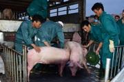 Giảm giá thịt lợn, không chỉ dựa vào nhập khẩu, ưu tiên tái đàn an toàn