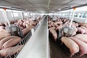 Giá heo hơi ngày 17/6: Về mức 65.000 đồng/kg người nuôi vẫn có lãi?