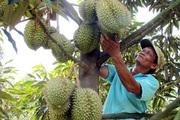 Thực hư thông tin nông dân Đồng Nai điêu đứng vì giá sầu riêng giảm?