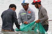 Ninh Thuận: Cá dìa hạt cam ven bờ rất nhiều, chỉ việc ra biển đứng vớt cũng kiếm tiền triệu