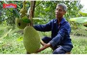 Đổ xô trồng mít Thái, 1 cây để 2 trái bán được gần 1 triệu đồng