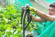 Thanh niên miền Tây làm 18 vèo nuôi rắn ri cá, ít chăm sóc, bắt lên bán là có tiền