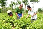 Tuyên Quang: Nông dân trồng thành công cây hoa nhài, hái hoa bán 60.000-80.000 đồng/kg