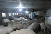 Đắng cay nghề nuôi lợn: 3 năm nuôi 7 lứa, lỗ đậm 5 lứa