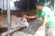 Lai Châu: Chăn nuôi bò vỗ béo mà có của ăn của để, xây được nhà đẹp