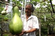 Vườn toàn quả siêu to, khủng, dài của ông nông dân phố ở Cần Thơ: Bầu to như em bé, mướp đắng dài 2m