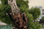 """Đồng Tháp: Dân dời nhà đi """"nhường"""" đất cho """"cụ"""" cây da hơn 100 tuổi hình thù kỳ dị"""