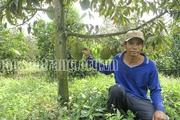 Sóc Trăng: Nông dân bỏ túi hàng trăm triệu nhờ trồng sầu riêng chung vườn với mít Thái