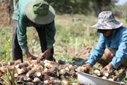 Khánh Hòa: Khoai sáp đặc sản bị thối củ, giá bán giảm, dân lo thu không đủ bù chi