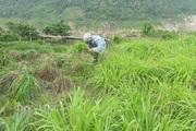 Lai Châu: Trồng cây sả Java tốt bời bời, chả tốn công chăm, nấu tinh dầu bán đều đều