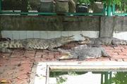 """""""Vua"""" cá sấu đất Bắc và trang trại triệu đô"""