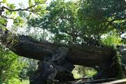 """Toàn """"siêu cây"""" bạc tỷ của đại gia nức tiếng một thời trong khu vườn bỏ hoang"""