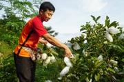 """Yên Bái: """"Tuyệt chiêu"""" của trai bản để nuôi gà thả vườn đẹp như tranh, cây ra đầy trái"""