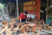 """Trai bản nuôi gà + trồng ổi bằng """"tuyệt chiêu"""" này, gà đẹp như tranh, ổi ngọt thơm bán chạy"""