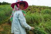 Yên Bái: Nơi núi cao, trồng thứ cây nhập ngoại trên đất hoang, dân rủng rỉnh tiền tiêu
