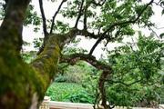 """""""Cụ"""" cây vải tổ 200 tuổi ở Hải Dương độc nhất Việt Nam có gì đặc biệt?"""