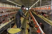 Mặc kệ thiên hạ nuôi kiểu gì, một mình anh nông dân 8X này nuôi gà đẻ trứng xanh mà đều tay thu tiền tỷ