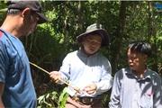 Quảng Ngãi: Dân trồng cây thuốc gì dưới tán rừng mà hái quả phơi khô bán 150 ngàn đồng/ký?
