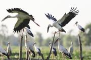 4.000 con chim di cư đậu kín sông Đầm ở Quảng Nam là loài gì, có quý hiếm không?