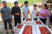 Thuận Châu xuất khẩu 2 tấn thanh long ruột đỏ sang Nga