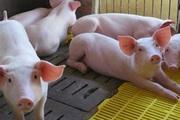 Giá heo hơi hôm nay 1/8: Đầu tháng thủ phủ chăn nuôi Đồng Nai giảm 3.000 đồng/kg