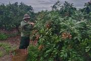 Giá nhãn, giá thanh long chỉ bằng bó rau muống, bán 3 tấn được 10 triệu, nông dân suy sụp