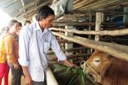 Quảng Ngãi: Chăn nuôi bò lai to bự, bán giá gấp 2 lần so với bò thường, nông dân khá giả hẳn lên