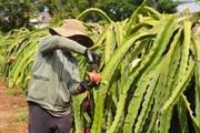 Dịch Covid-19: Xót xa giá thanh long còn 2.000 đồng/kg vẫn ít người mua, trái chín rục trên cây
