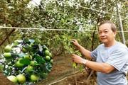 """Sóc Trăng:  Vì sao ông nông dân này """"nhốt"""" táo hồng trong nhà lưới mà thương lái vẫn đòi vô mua?"""