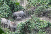 Chuyện về loài thú sống trên cạn to xác nhất thế giới ở tỉnh Quảng Nam, đã xuất khẩu sang Nhật 2 con