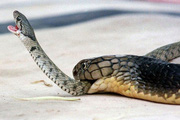 Tóm sống rắn hổ mang chúa khổng lồ dài 5m khi cố bò vào nhà dân