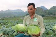 Sơn La: Nông dân lãi lớn nhờ trồng rau bắp cải cuộn chắc nịch giữa mùa hè nắng nóng