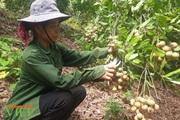 Sơn La: Đất dốc xanh màu cây ăn quả
