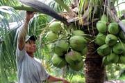 Bến Tre: Sâu lạ phá hại vườn dừa của nông dân là loài gì mà phải dùng máy bay mini để diệt trừ?