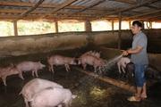 Lão nông vùng cao thu lãi 300 triệu đồng nhờ nuôi cả trăm con lợn