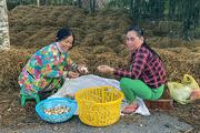 Hậu Giang: Nông dân trồng nấm rơm đặc sản, bỏ 1 đồng vốn thu 4 đồng lời