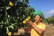 """Nông dân Mộc Châu thu nhập """"khủng"""" từ trồng cây ăn quả"""