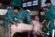 Giá lợn hơi vừa hạ, người nuôi ngay lập tức bị lỗ nặng