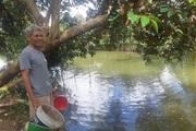 Hậu Giang: Nuôi loài cá tai tượng trong ao đất, bắt 13 tấn, cứ bán 1 tấn được 35 triệu đồng
