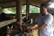 """Sơn La: """"Biến"""" bò gầy thành những con bò vai u thịt bắp, mông núng nính mà kiếm bộn tiền"""