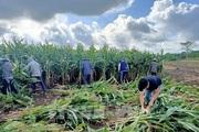 Dân ở huyện Châu Đức đổ xô đi trồng ngô nhưng lại chỉ lấy thân mà có thu nhập cực cao