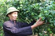 Phục sát đất ông nông dân tỉnh Sơn La trồng thứ cam đặc sản ra quả như chùm sung