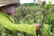 """Hàng trăm người Hà Tĩnh kiếm tiền triệu mỗi ngày nhờ lên rừng hái loại quả """"thần dược"""" bé tí này"""