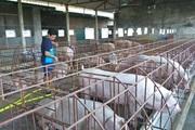 Không dễ đưa chăn nuôi nông hộ ra khỏi nội đô